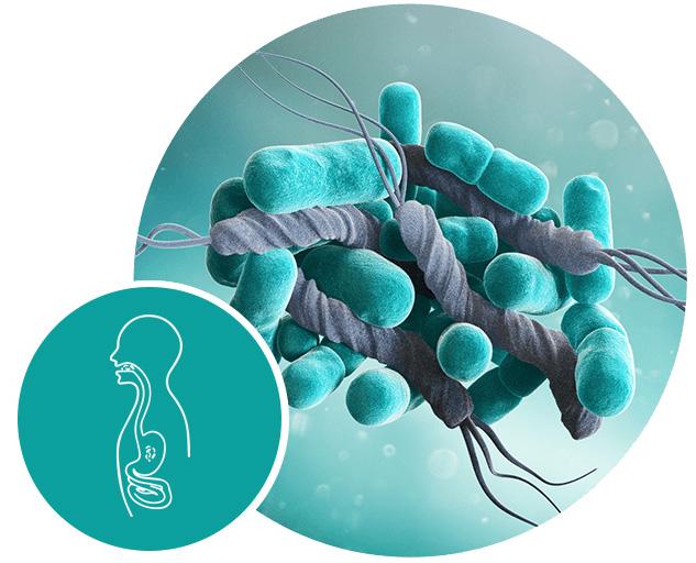 ventrisana mikrobiom heliobacter pylori